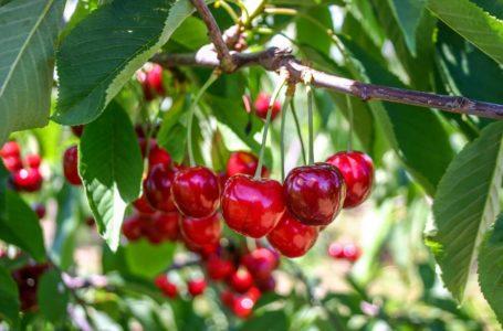 Uprawa czereśni w przydomowym ogródku – wszystko co warto wiedzieć!