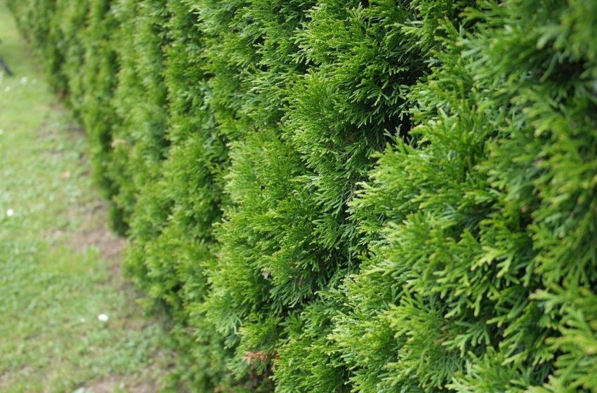 Żywopłot z żywotników tui: wybór odmian, sadzenie i pielęgnacja
