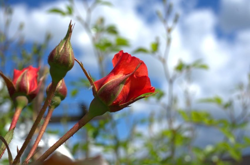 Róża w ogrodzie - jak pielęgnować