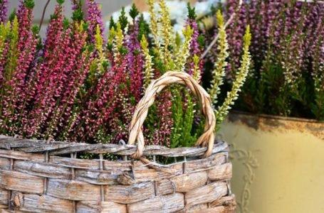 Jesienne kwiaty na balkon – Które wybrać?