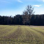 Co wpływa na zimotrwałość upraw zbóż ozimych?