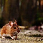 Jak walczyć z myszami w domu?