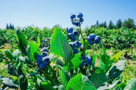 Sadzonki borówki amerykańskiej – w ogrodzie i na plantacji